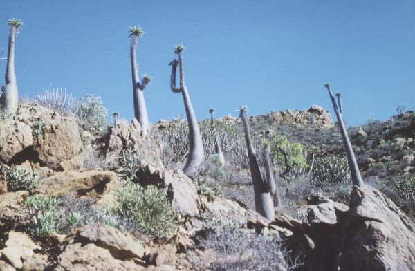 "Bild mehrerer Exemplare ""Pachpodium Namaquanum"""