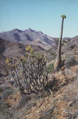 Bild eines Pachypodium-Namaquanums